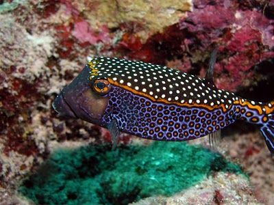 Guys All Want To Be Whitespotted Boxfish The Featured Creature Sea Creatures Sea Animals Marine Life