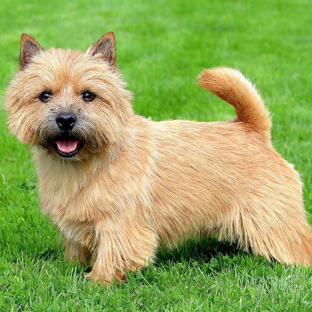 Cairn Terrier Dog Breed Information Norwich Terrier Norwich