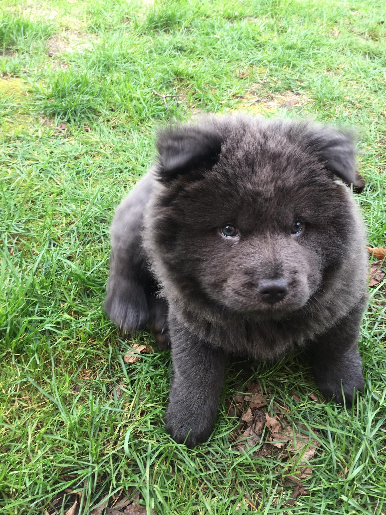 Reddit Meet Yogi A Chow Chow Puppy Dogpictures Dogs Aww