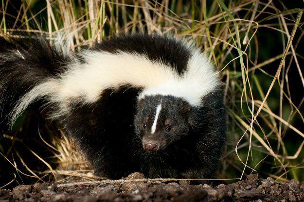 How To Deter Skunks In 3 Surprisingly Simple Steps Skunk Skunk Repellent Getting Rid Of Skunks