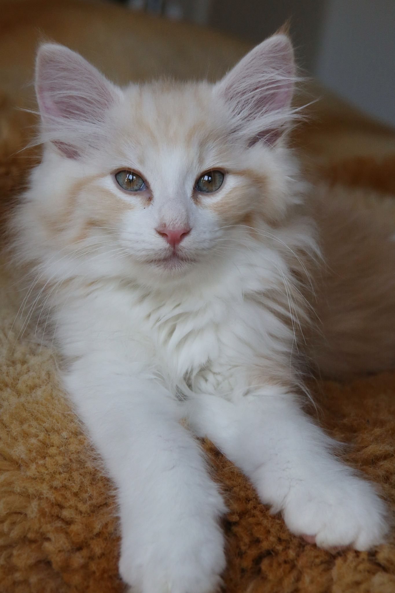 Pin On Maine Coon Cats Kittens Cat Furniture