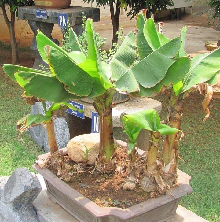 Bonsai Banana Tree For Sale