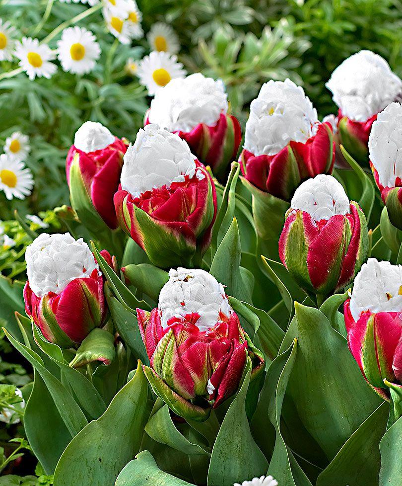 Coltivare Fiori Da Recidere i tulipani ice cream sono una novità spettacolare! il nome