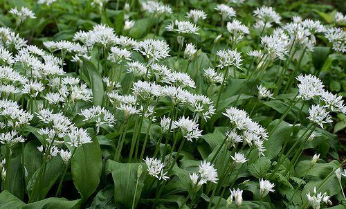 Barlauch Bear S Garlic Allium Ursinum Allium Garlic Herbs