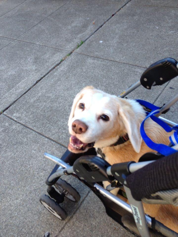 How An Arthritic 13 Year Old Beagle Can Enjoy Her Walk Beagle