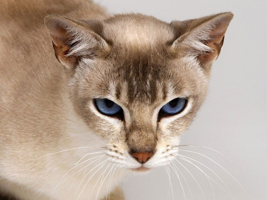 Very angry looking Tonkinese Dream dogs and cats