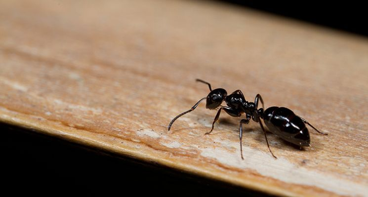Pest Control Vaughan Ant Control Pest Control Natural Pest Control