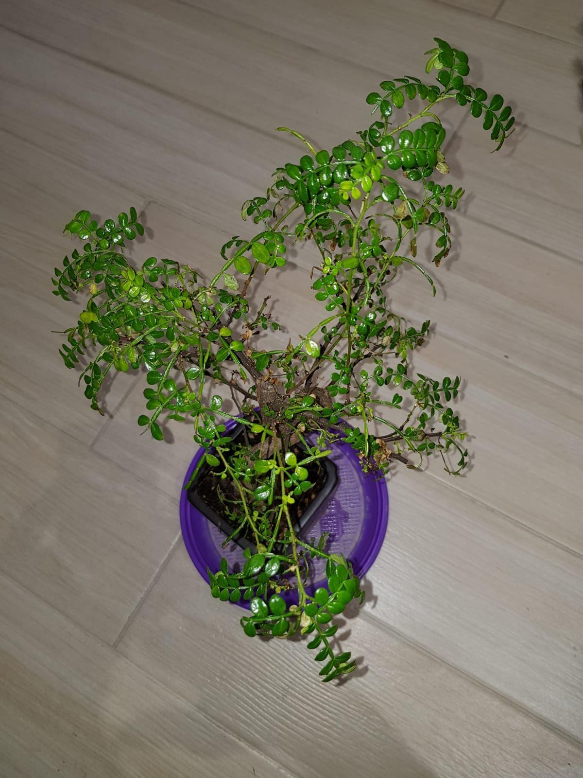 primo bonsai pepper tree: chiedo consigli B71c98acb5dfc3401fd2aa13d2e00630