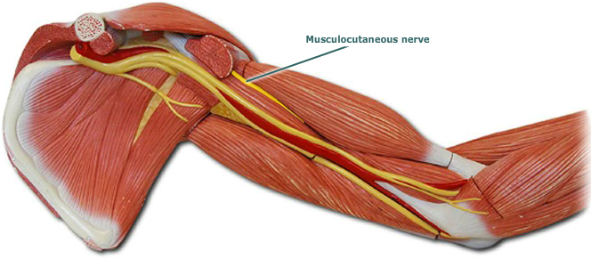 Musculocutaneous Nerve Anatomy New Pinterest Nerve Anatomy