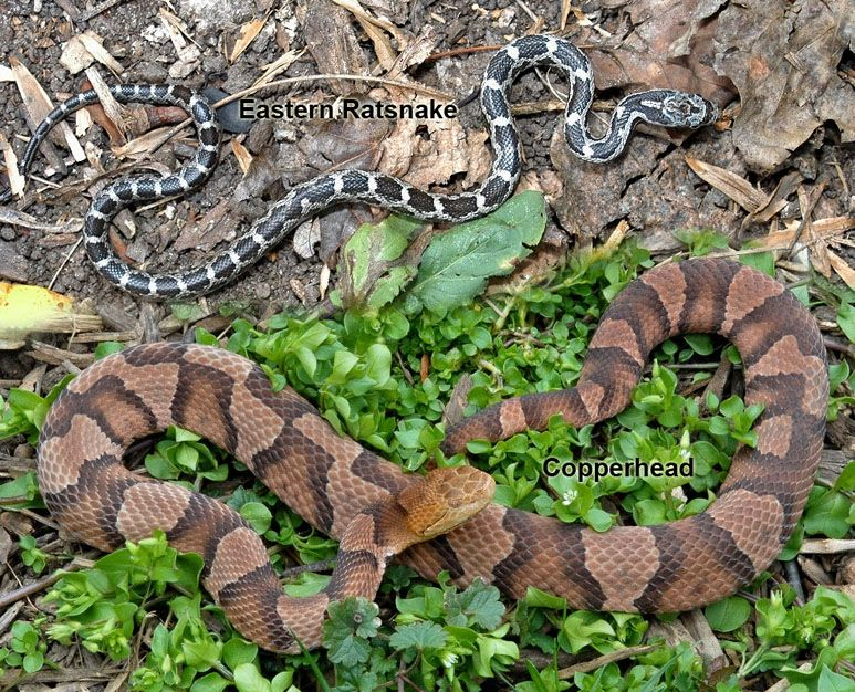 Once Again Copperhead Snakes Appeared Early In Virginia Community Idea Stations Snake Science And Nature Poisonous Animals