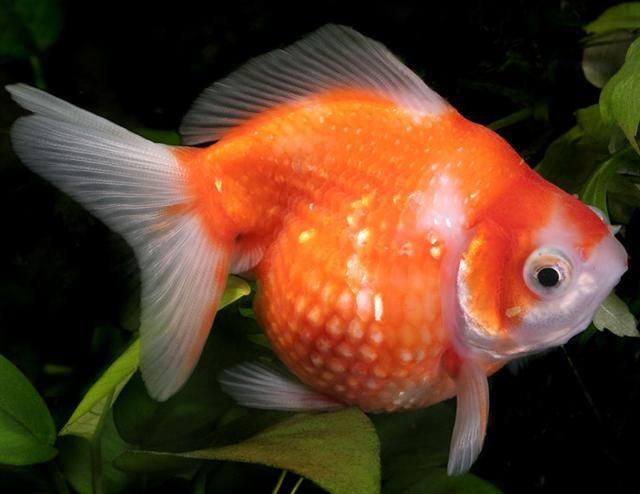 Pearlscale goldfish aquarium life marine and freshwater for Cute freshwater fish