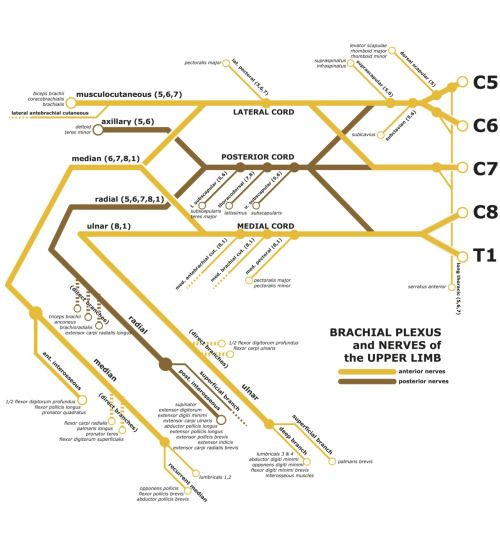 Flyover States A Subway Map Of The Brachial Plexus I Made For