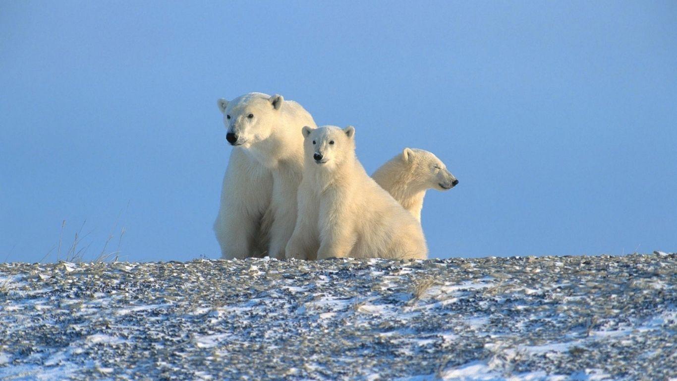 Wallpaper Bears Snow Family Polar Bears Animal polar bears on ice wallpapers hd