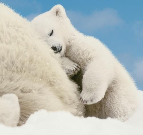 Art print POSTER CANVAS Polar Bear Cub Sleeping on Mother/'s Hind End