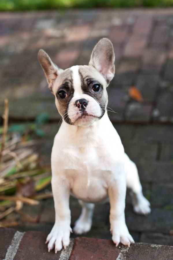 Cutest Puppy Ever I Love French Bulldogs