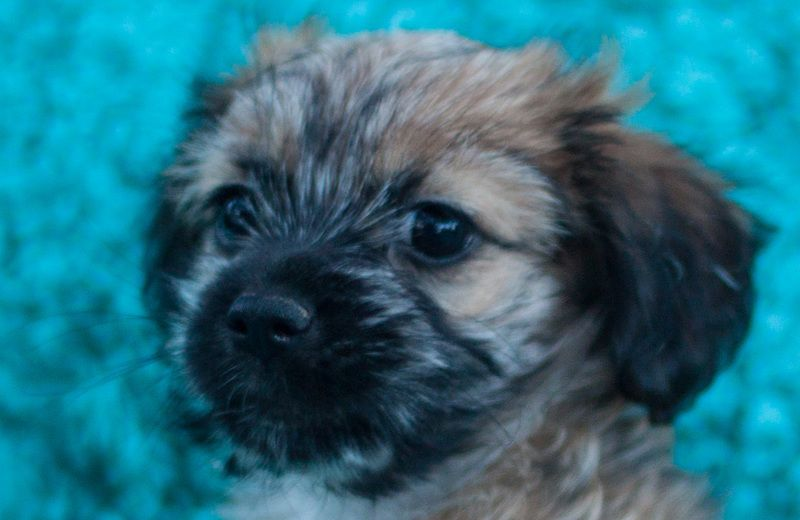Adopt Tessa On Petfinder Poodle Mix Dogs Rescue Dogs Shih Tzu Poodle