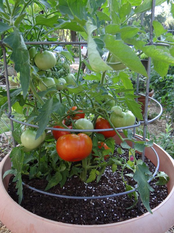 How To Grow Tomatoes In Hot Weather Zone 10 Tomatos Are 640 x 480
