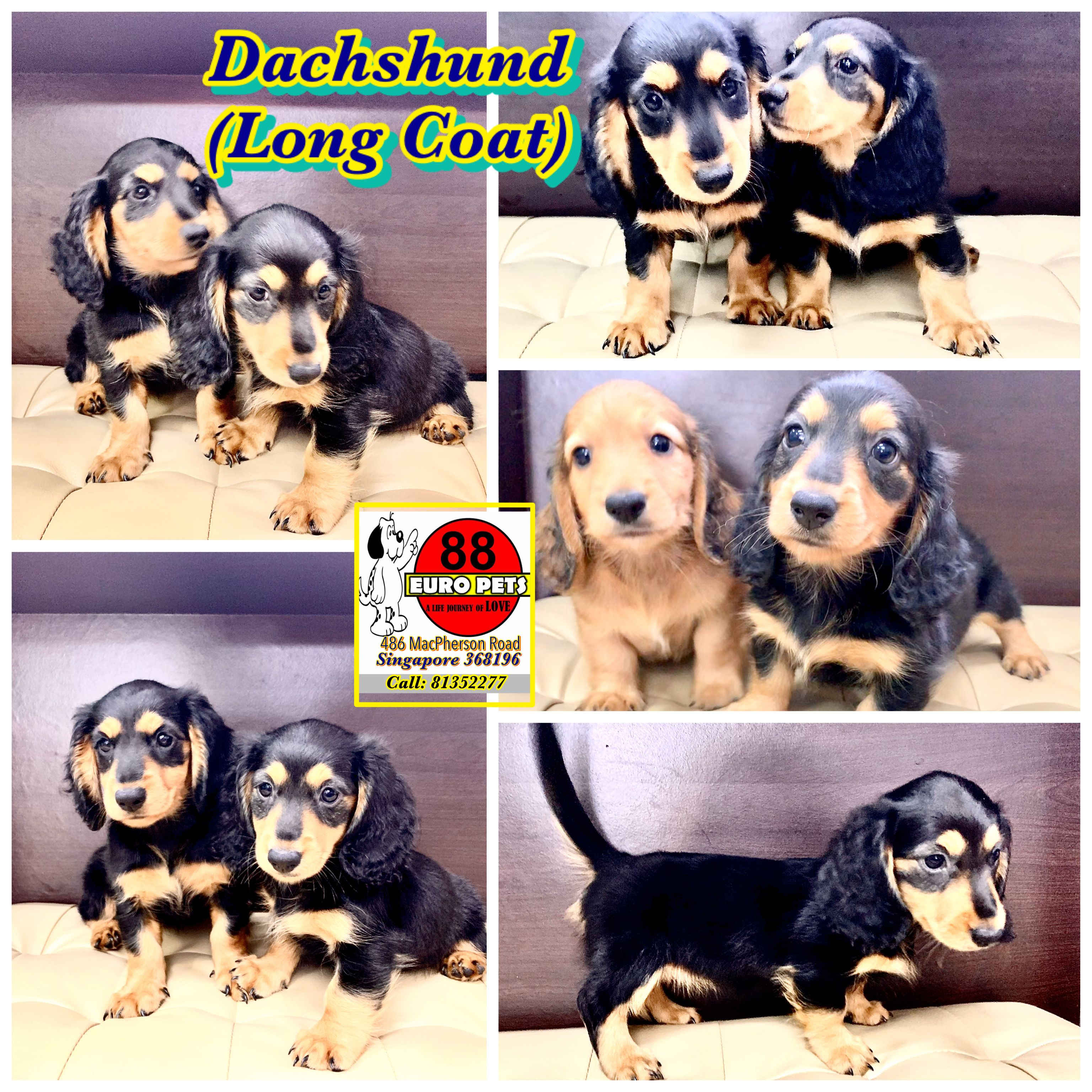 Mini Dachshund Rare Long Coat Purebreed 4 488 Female Call