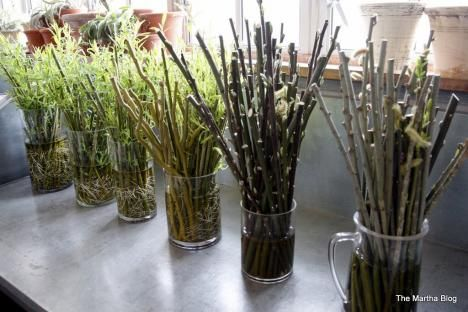 Pussy Willow Propagation 82
