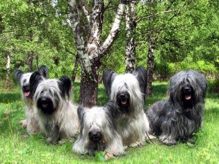 Skyeterriers - Skye Terrier - Wikipedia, the free ...