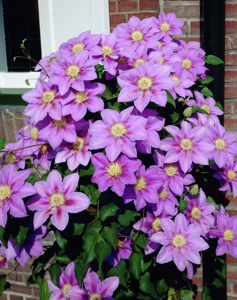 Clematis barbara jackman plants flowers 99roots clematis barbara jackman barbara jackman is an early large flowering climber with green leaves and flowers that are blue with crimson bars izmirmasajfo Images
