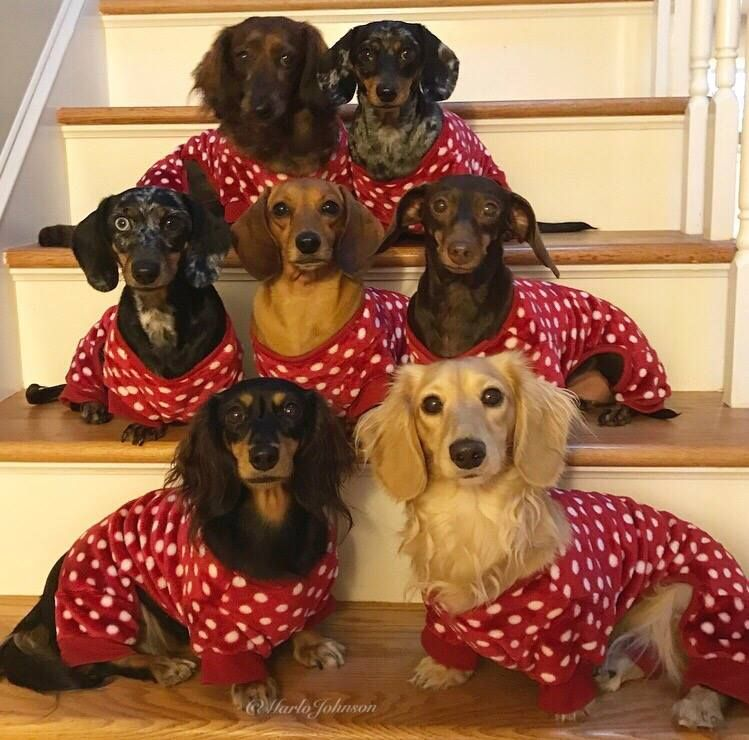 Pajama Party With Marlo Thomas Johnson S Dachshunds