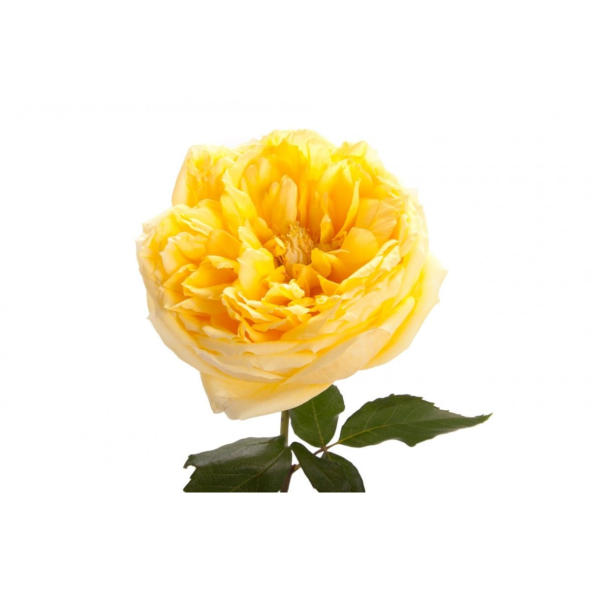 Yellow Garden Rose Toulouse Lautrec Roses Types Of Flowers Rose Varieties Types Of Flowers Fall Wedding Flowers