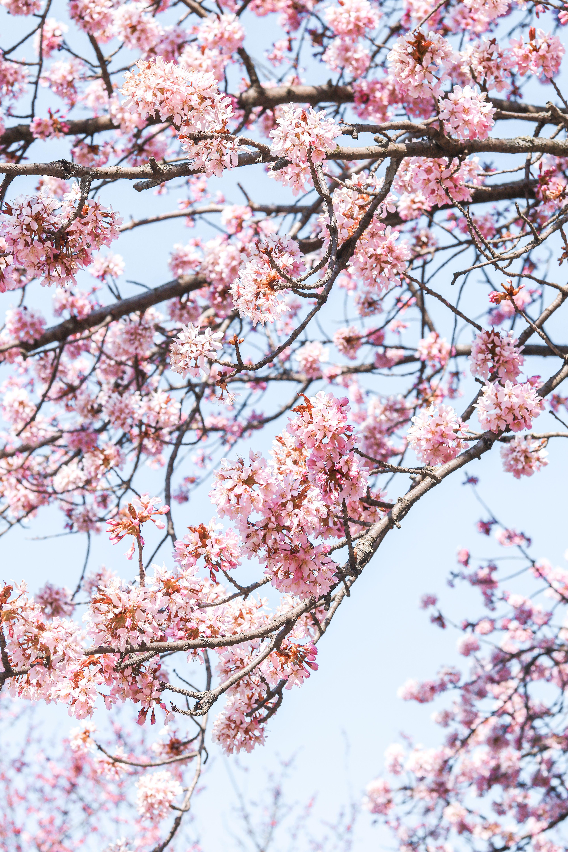 Cherry Blossom Cherry Blossom Cherry Tree Pastel Roses