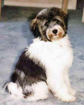 Tibetan Terrier Photo Tibetan Terrier Puppies For Sale Tibetan