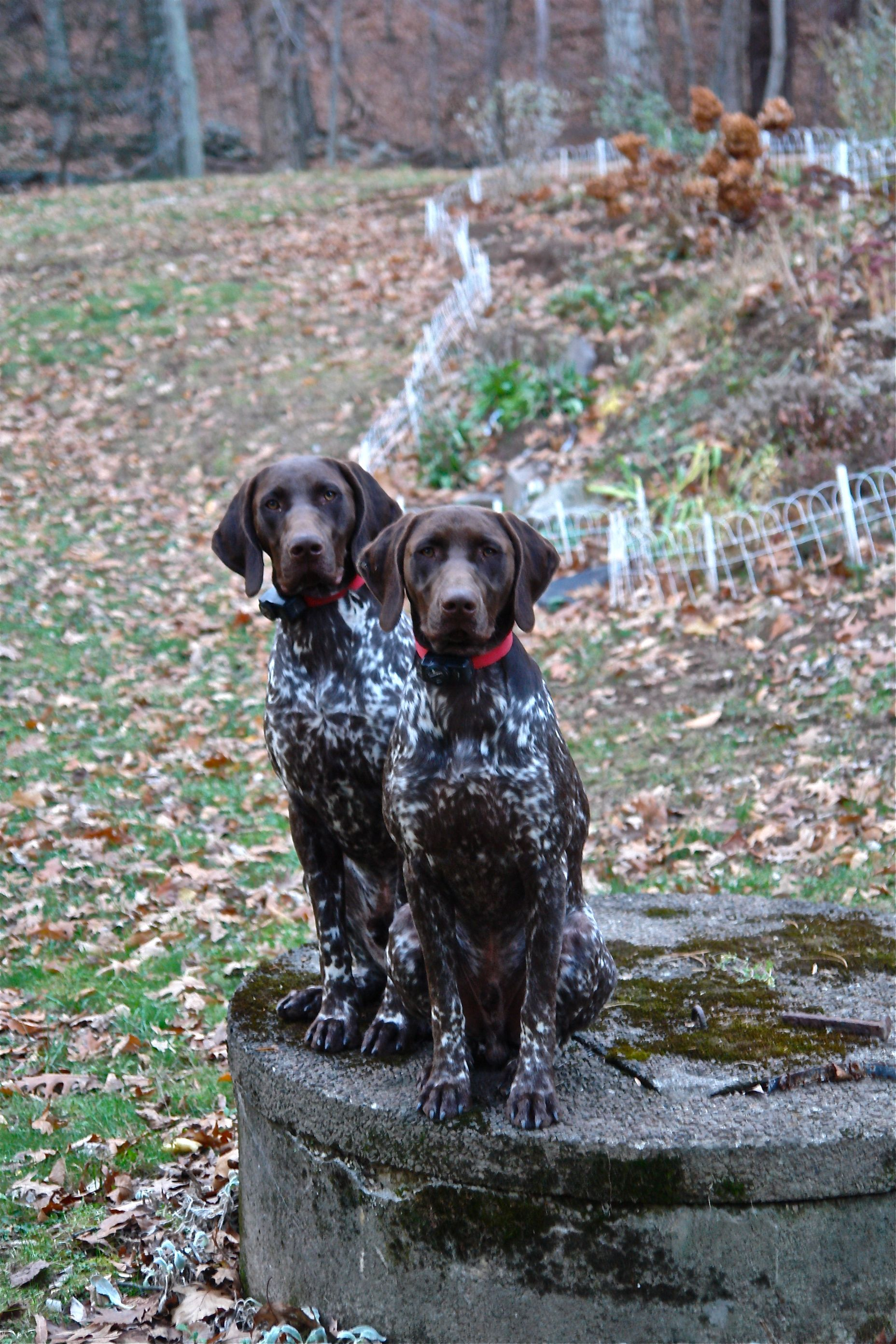 Pin By Roberto Calasanz On Archer Marlowe German Shorthaired