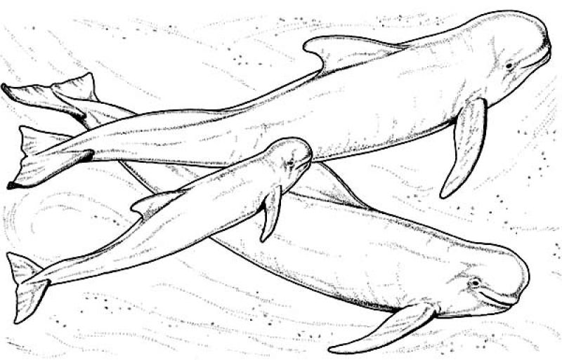 Beluga Whale Printable Coloring Pages Free Coloring Pages