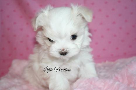 Maltese Puppy Puppies Maltese Dogs Maltese