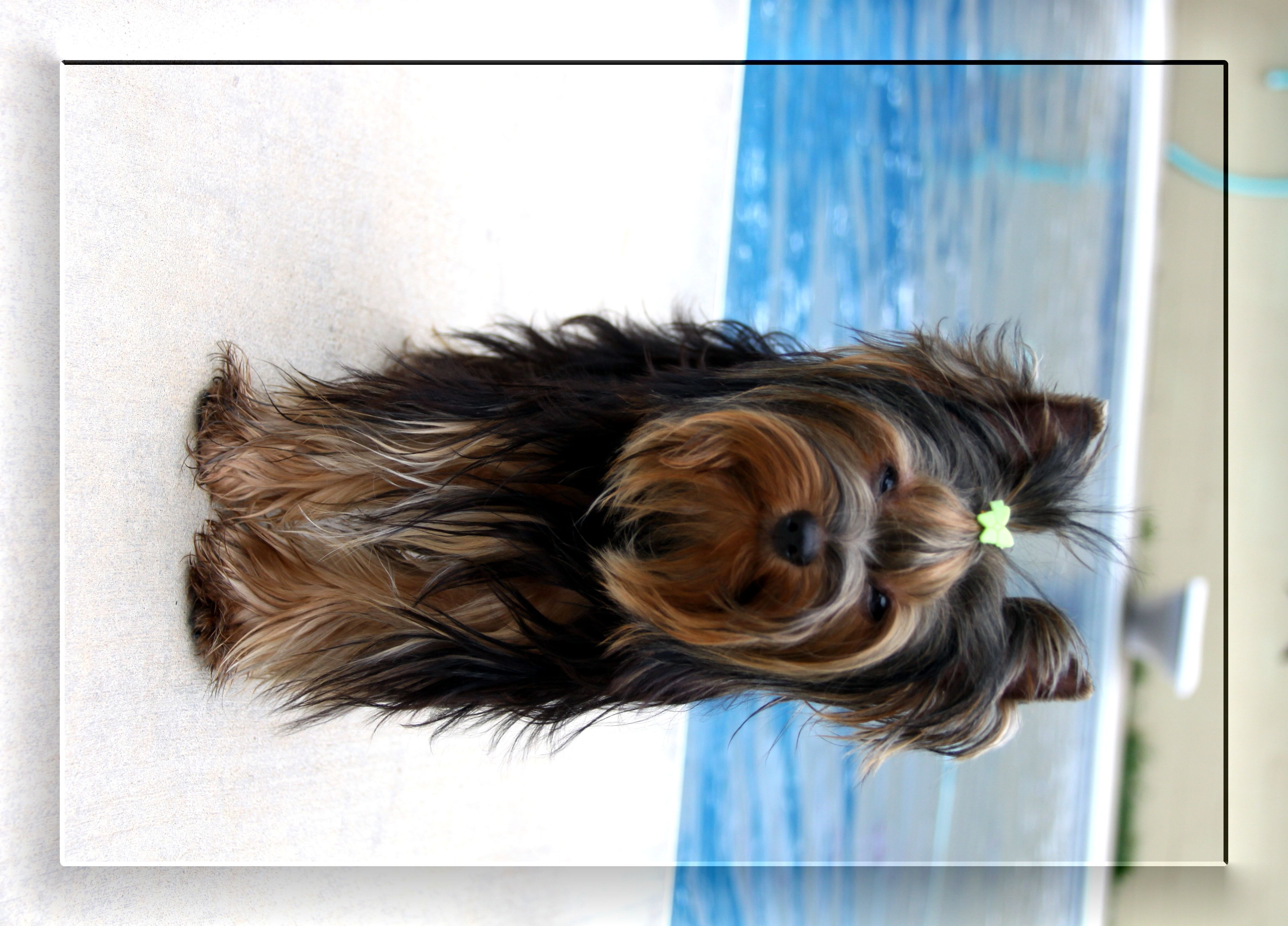 Parti yorkie puppies for sale in texas