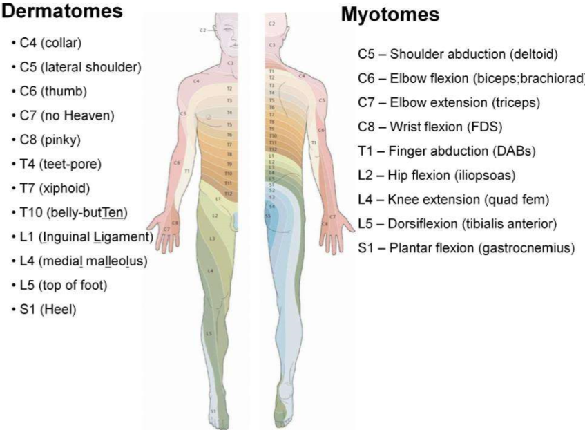 Dermatomes and myotomes with word associations   Med Notes ...
