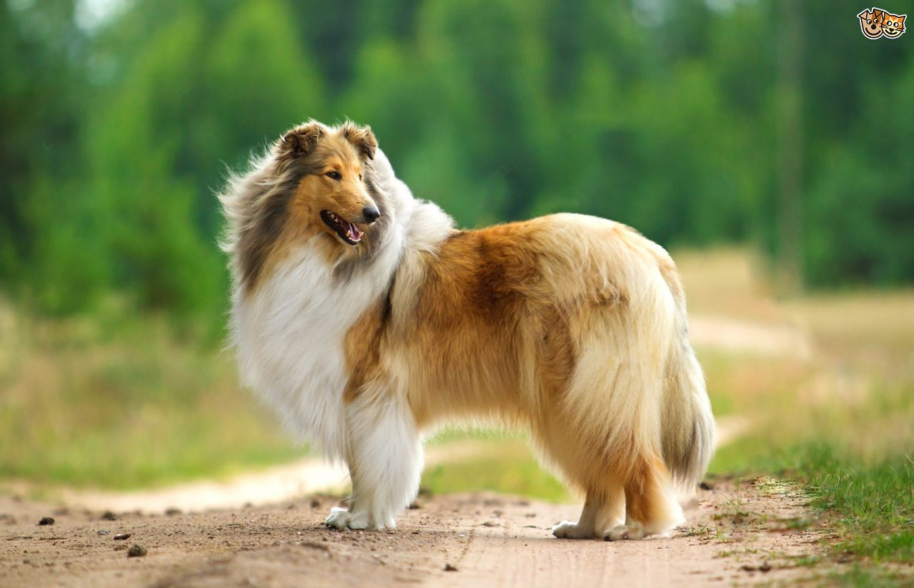 Image Result For Rough Collie Someday A Dog Pinterest