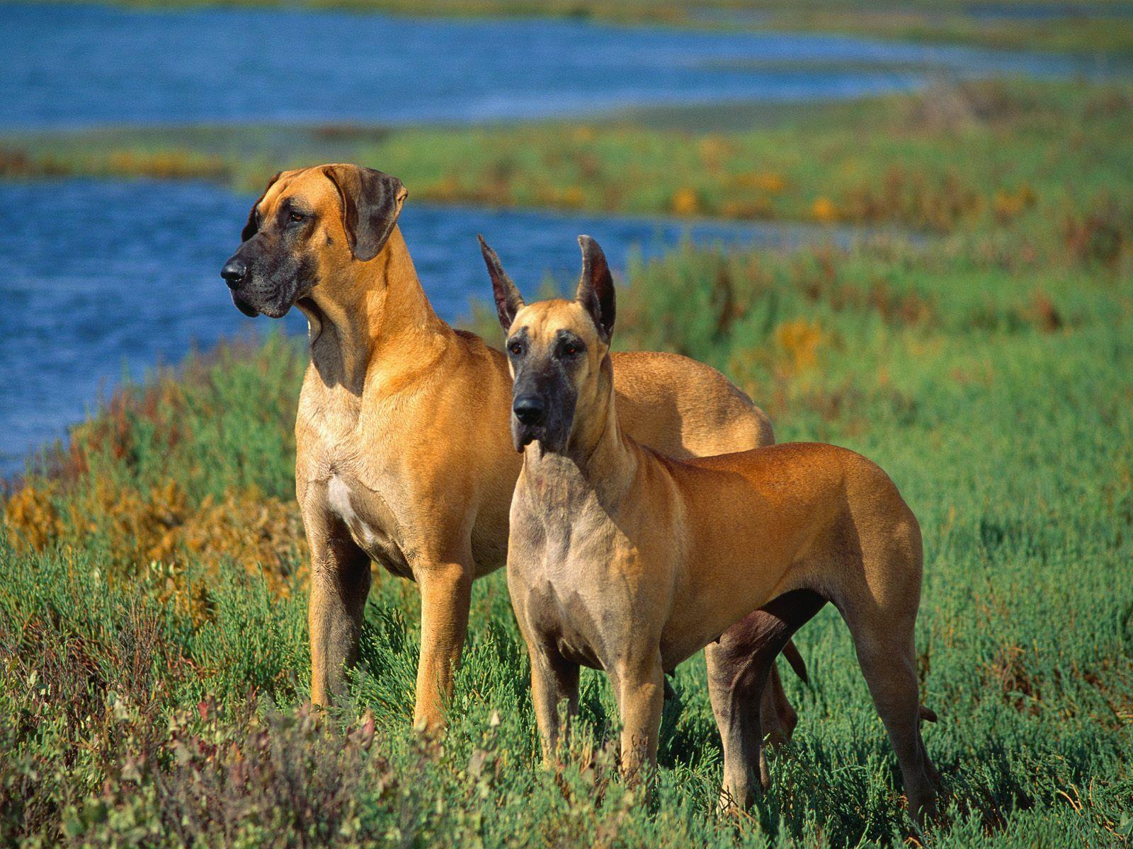 Great Danes Great Dane Dogs Great Dane Dog Breed Info
