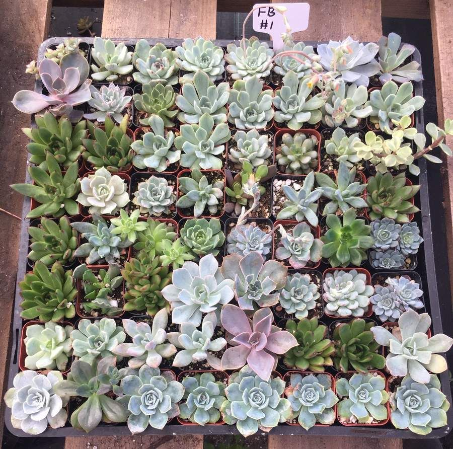 Succulents Succulent Wedding Favors Succulents for Sale
