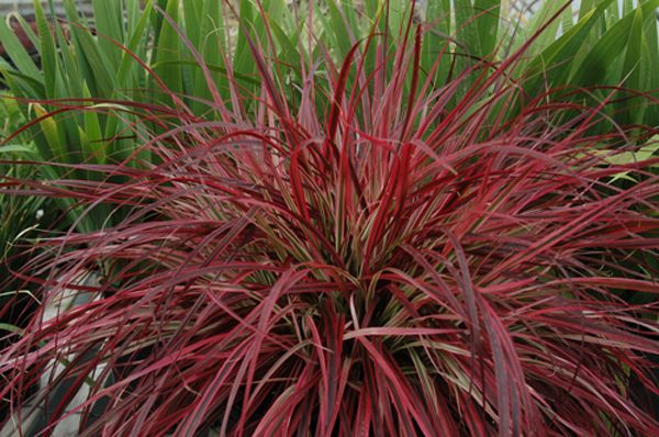 Fountain grass pennisetum fireworks live plant setaceum for Large ornamental grass plants