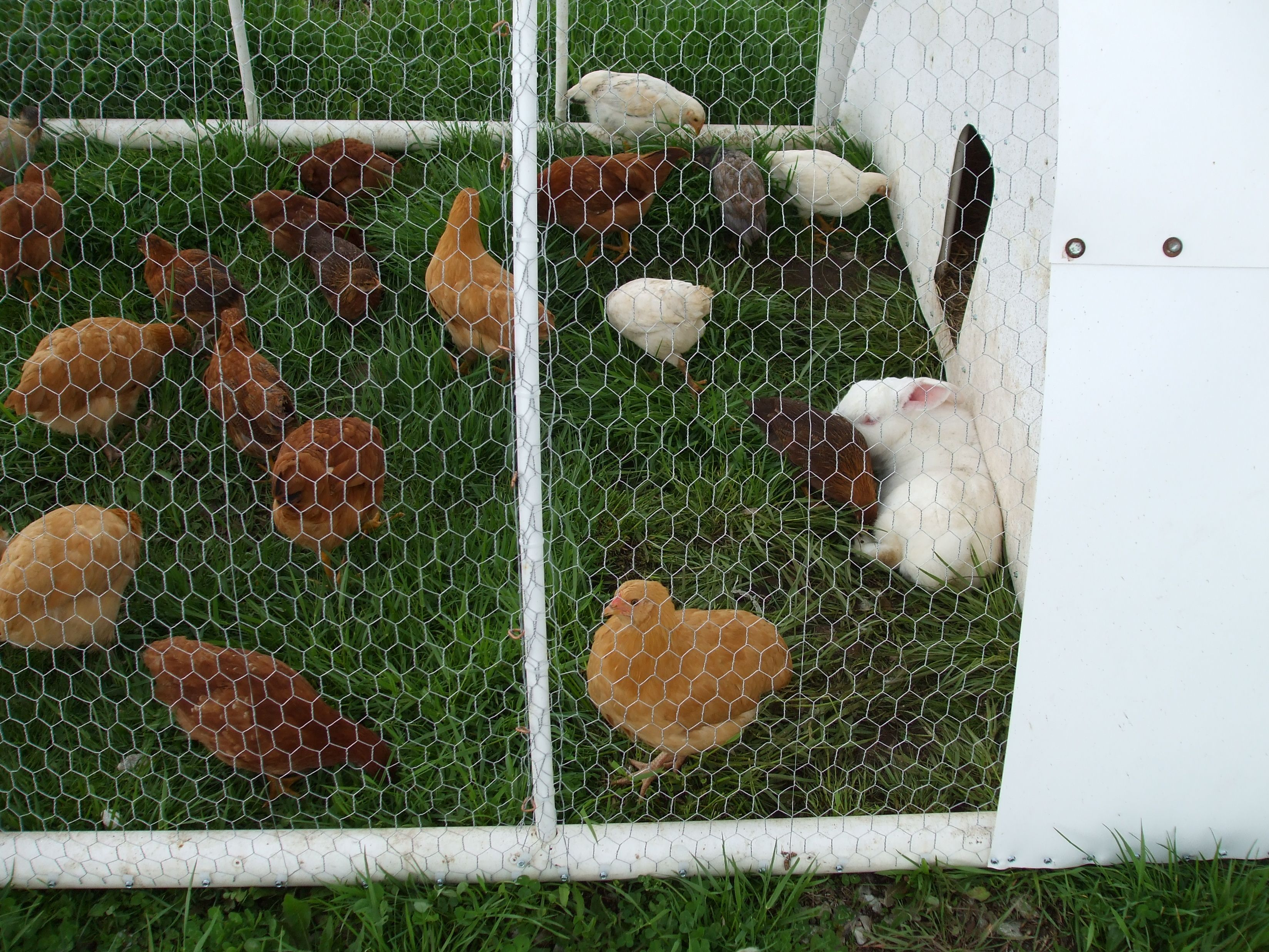 Raising Chickens and Rabbits together  Co housing