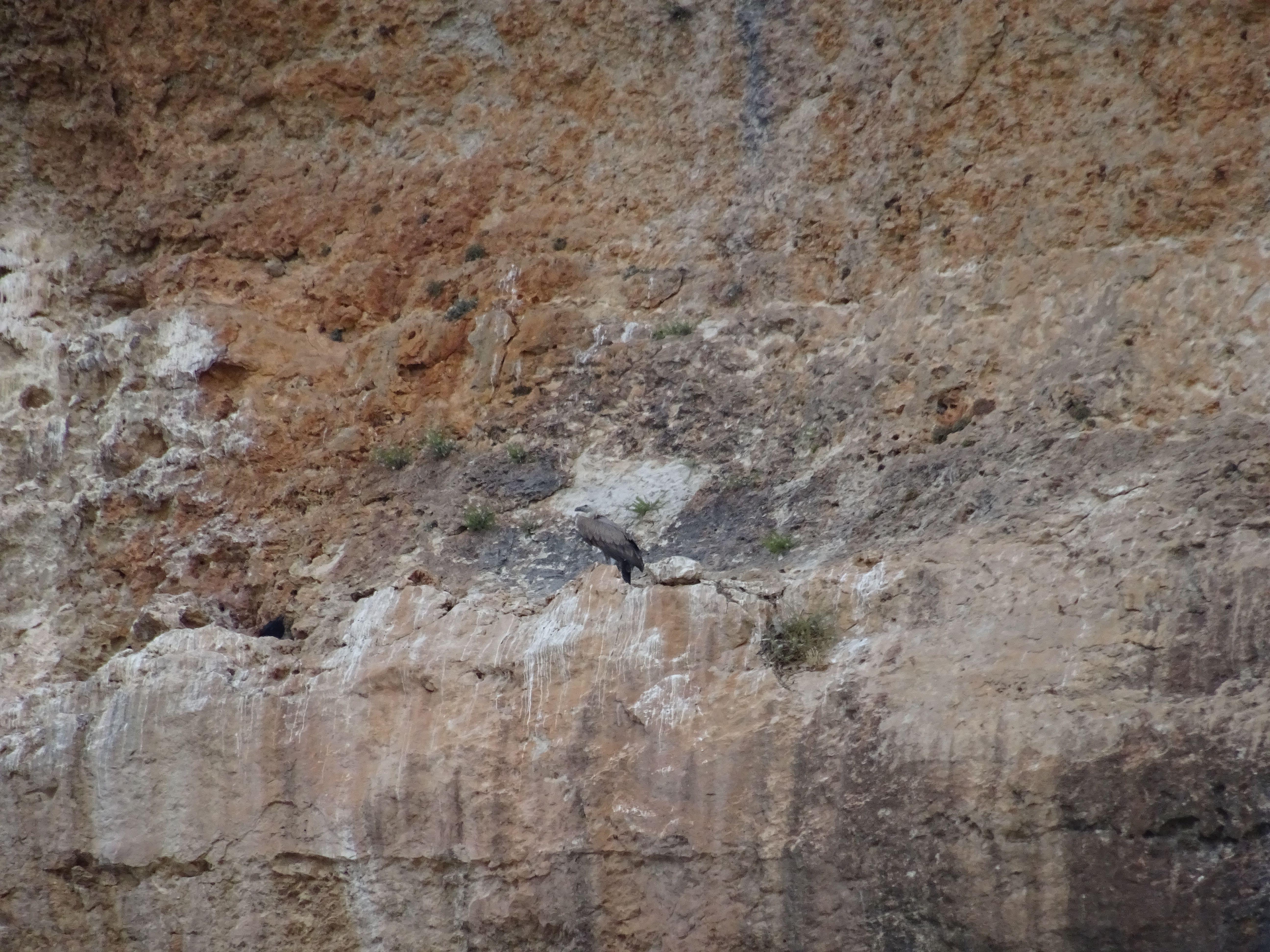 Un bello buitre leonado estira sus alas en un resalto de la roca, su pelaje es gris oscuro y destaca entre la caliza rojiza