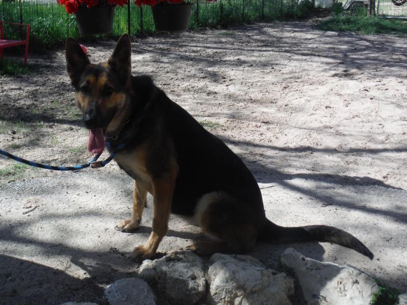 Adopt Fara On Dogs Shepherd Dog German Shepherd Dogs