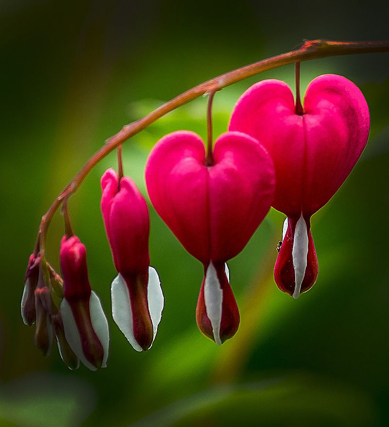 100 Beautiful Photos And Pictures Of Flowers Bleeding Heart Flower Flower Pictures Bleeding Heart Plant