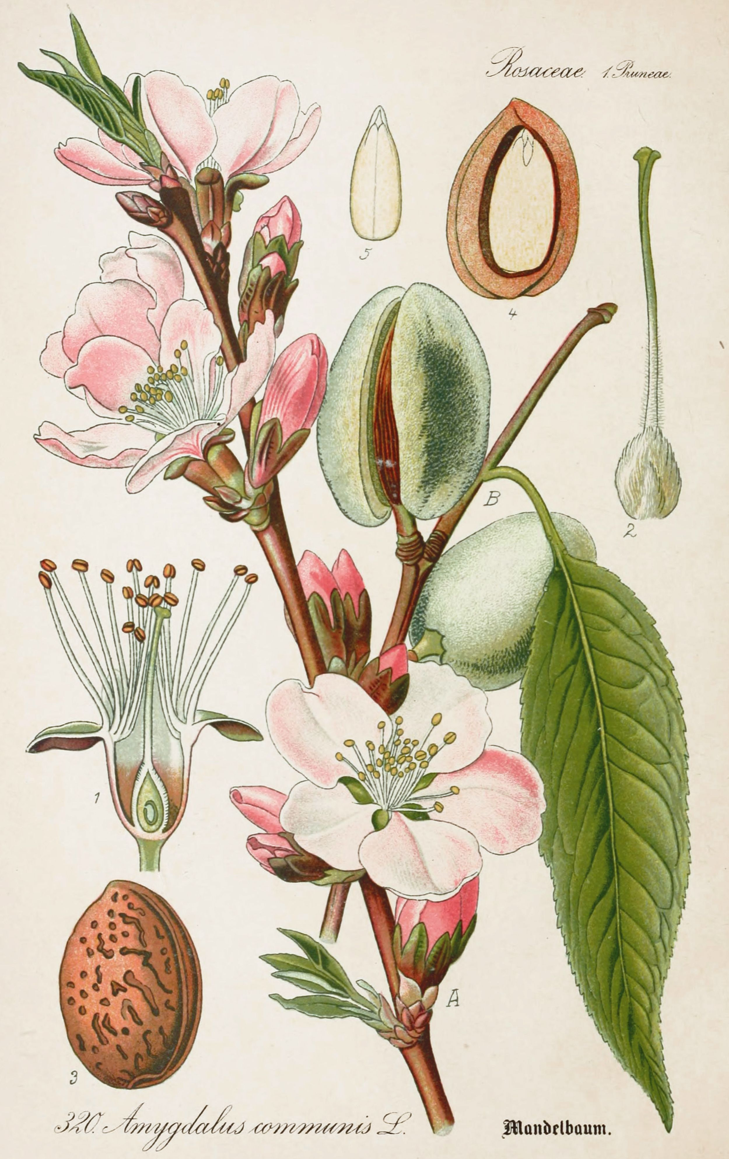 Almond antique botanical illustration from flora of germany circa