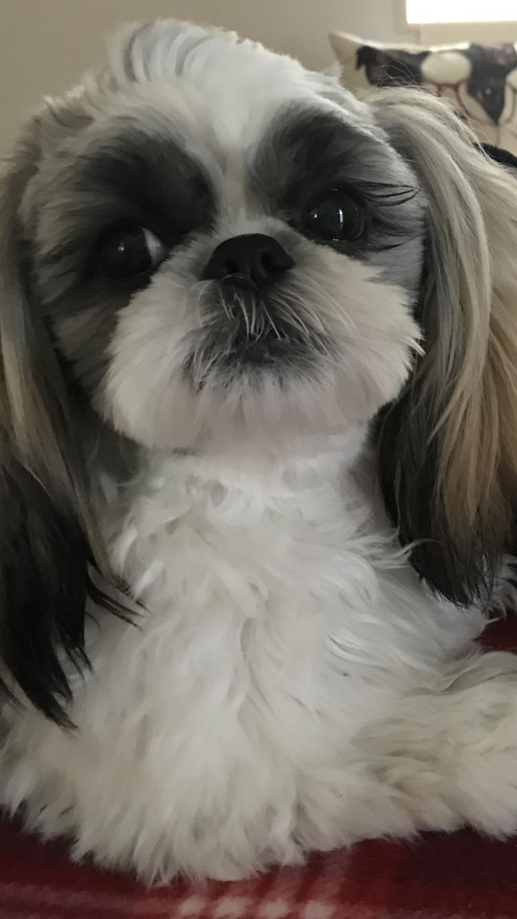 Sean The Shih Tzu Shih Tzu Shih Tzu Puppy Dog Breath