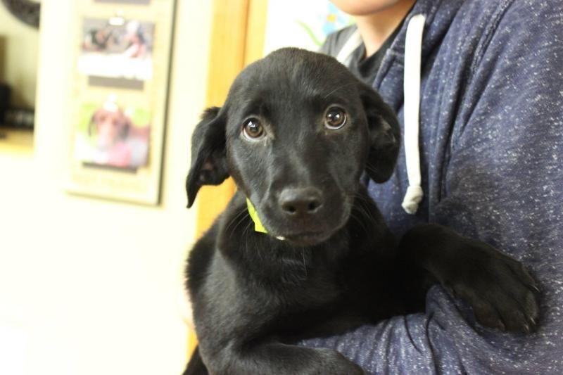 Adopt Barnabas On Animal Help Dog Adoption Labrador Retriever