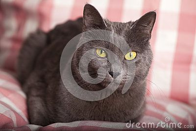 A close-up portrait of a young blue russian / carthusian cat with yellow eyes. Grey coat. Laid on a pillow pink gingham