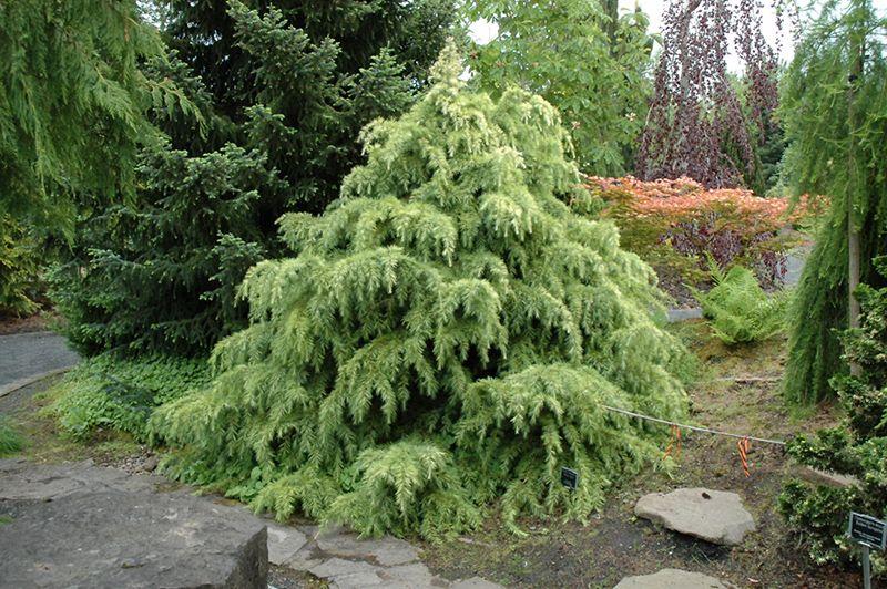 Silver Mist Deodar Cedar (Cedrus deodara 'Silver Mist') at