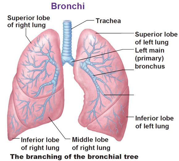 Bronchial tree branching into bronchioles with superior middle bronchial tree branching into bronchioles with superior middle inferior lobes and primary bronchus ccuart Gallery