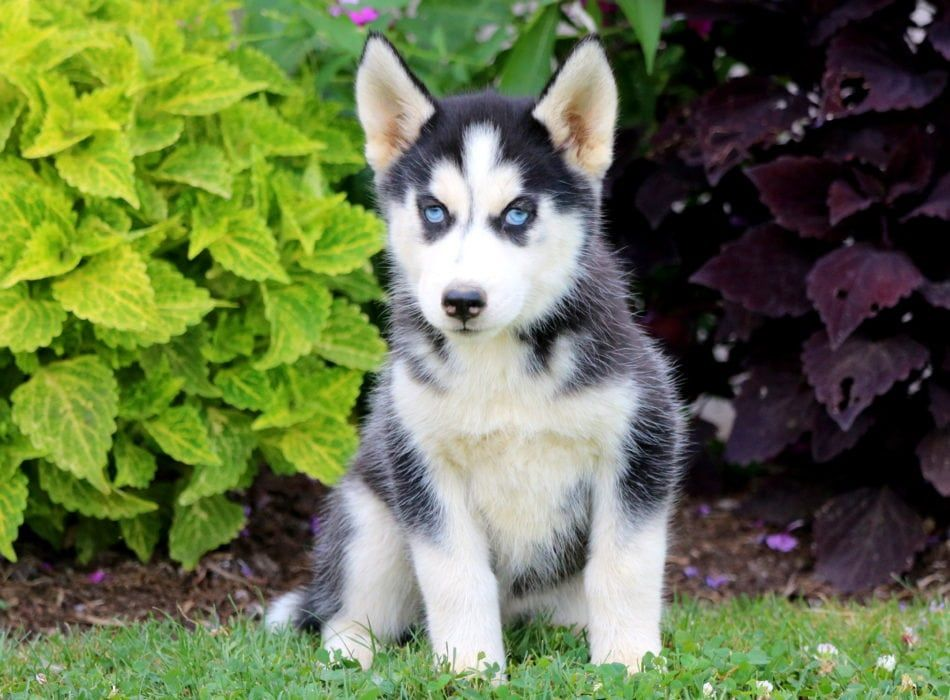 Flower Husky Puppies For Sale Puppies Husky Puppy