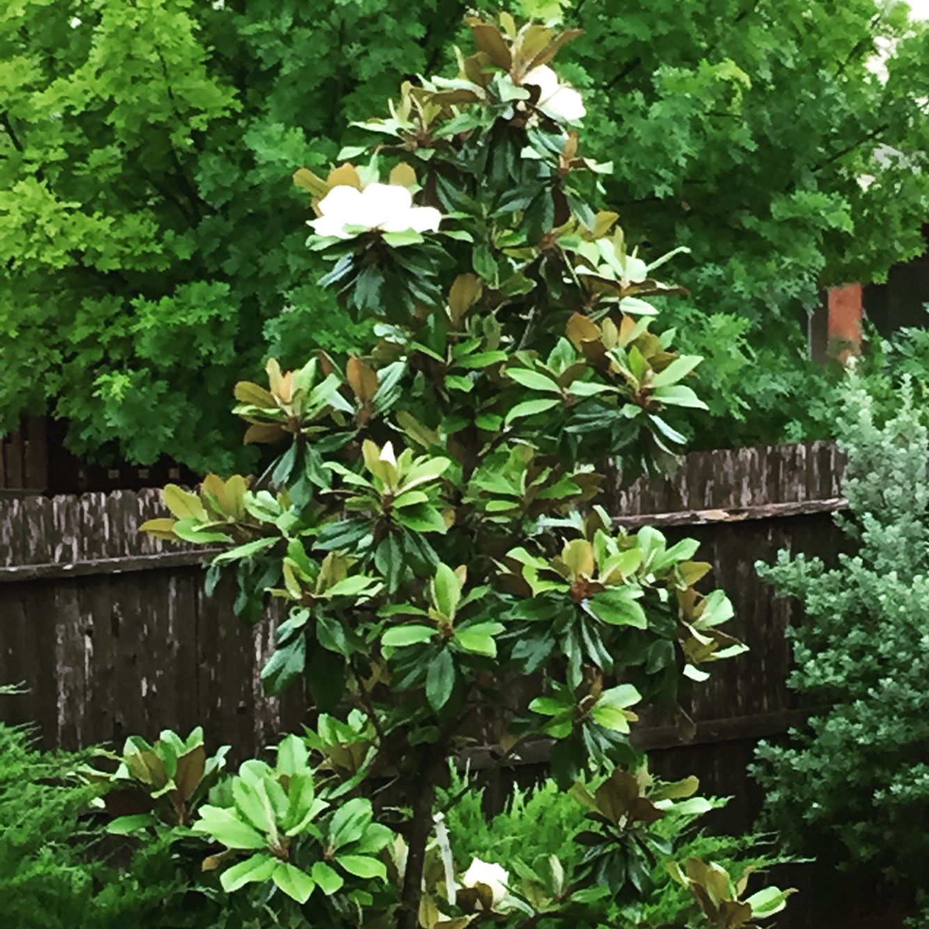 Little Gem Magnolia Tree | Mature Height: 20\' - 25\' | Growth Rate: 1 ...